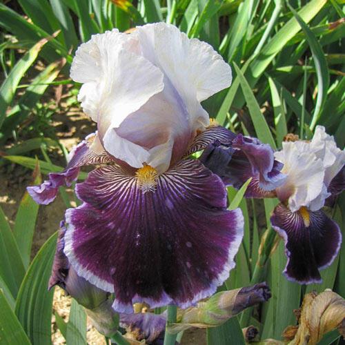 Wild Vision Bearded Iris