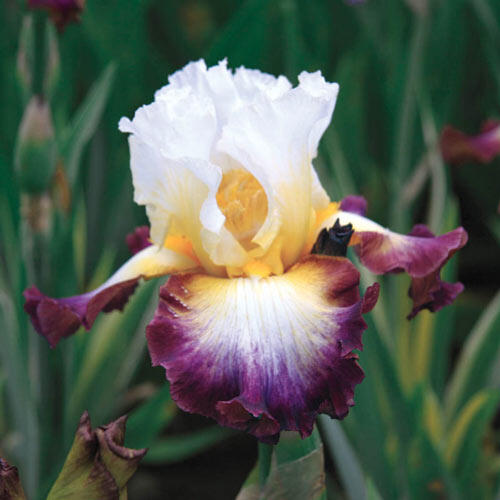 Starglow Bearded Iris