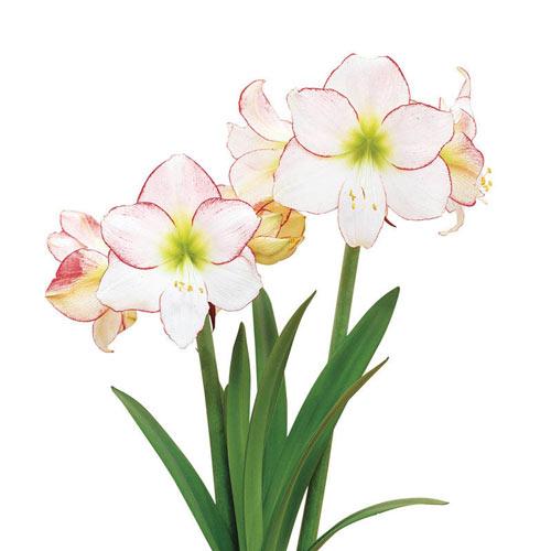 Amaryllis Picotee