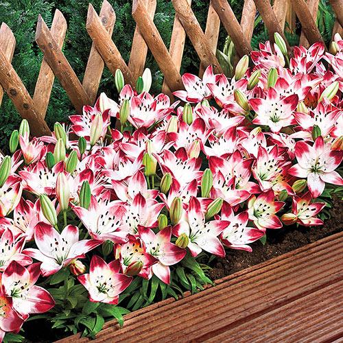 Sugar Baby Carpet Border Lily™