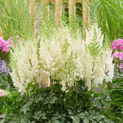 Lowlands White Astilbe