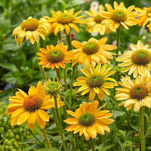 Mellow Yellow Coneflower