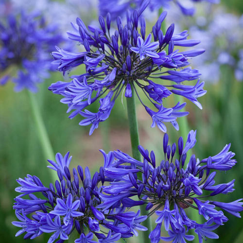 Midknight Blue® Agapanthus