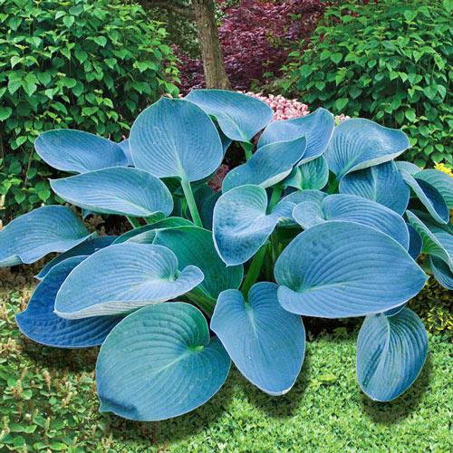 Buckshaw Blue Hosta