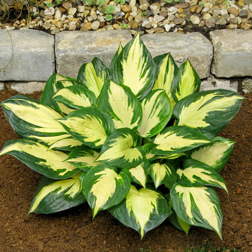 Morning Star Hosta