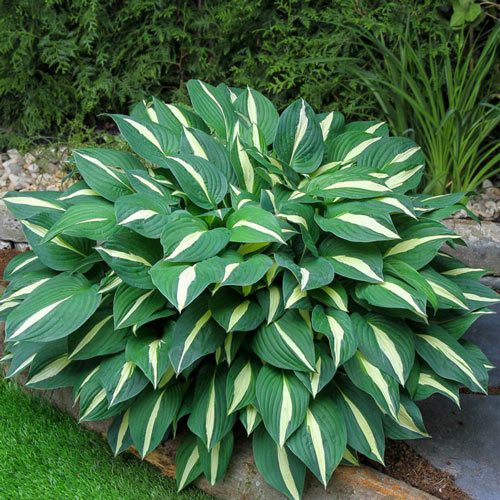 Risky Business Hosta