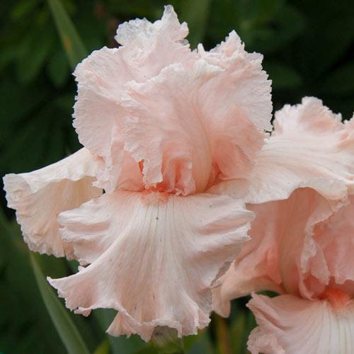 Flirtatious Bearded Iris
