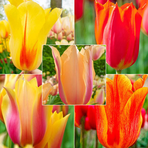 WOW!®Towering Perennial Tulip Collection