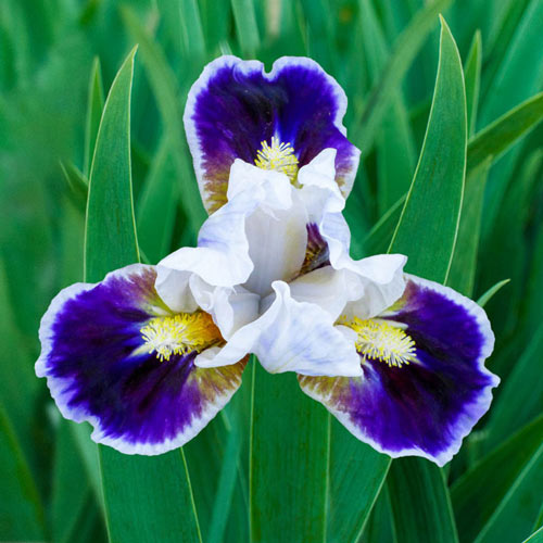 Bitty Beauty Dwarf Bearded Iris