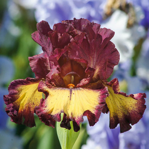 Blood Moon Bearded Iris