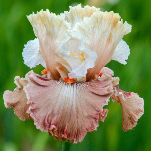 Champagne & Strawberries Bearded Iris
