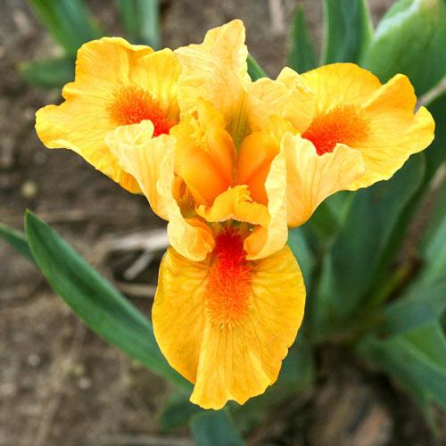 Fuzzy Slippers Dwarf Bearded Iris