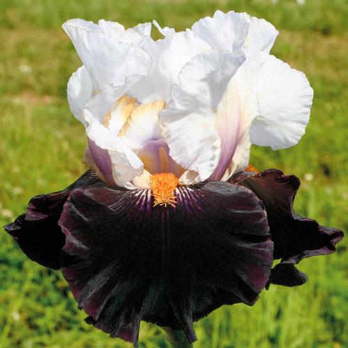 Main Street Bearded Iris