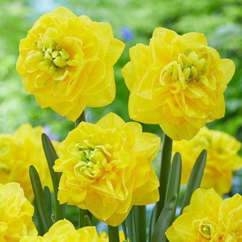 Thunderball Daffodil