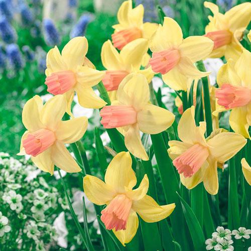 Prototype Daffodil