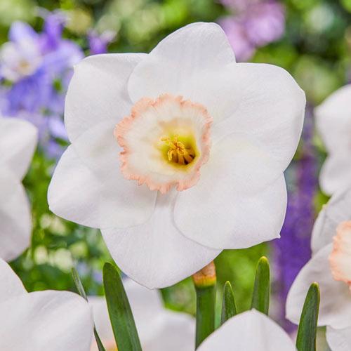 Royal China Daffodil