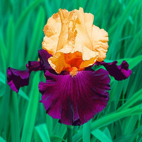 Idol Bearded Iris