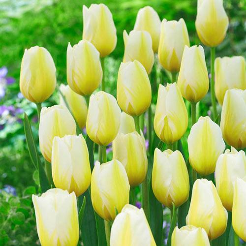 Lemon Chiffon Tulip