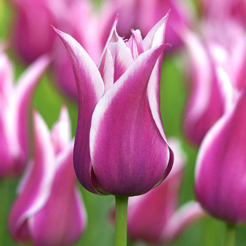 Ballade Tulip
