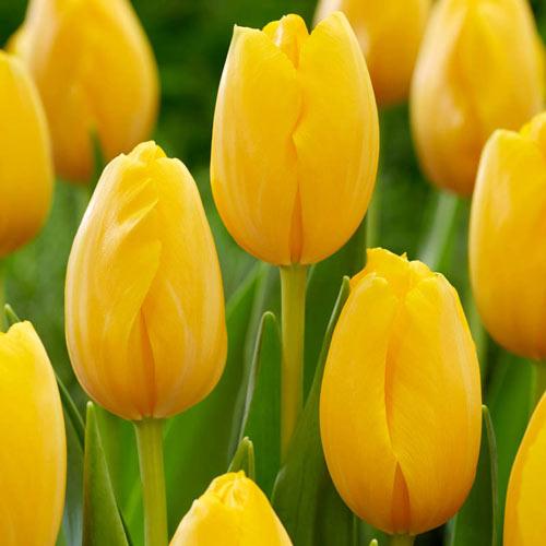 Golden Prins Claus Tulip