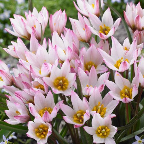 Hilde Tulip
