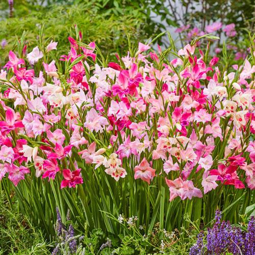 Cherry Blossom Hardy Gladiolus Mixture