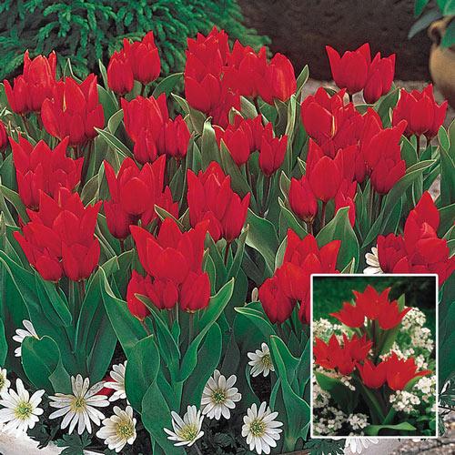 Firespray™ Tulip