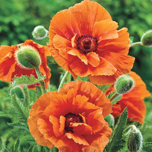 Harvest Moon Oriental Poppy