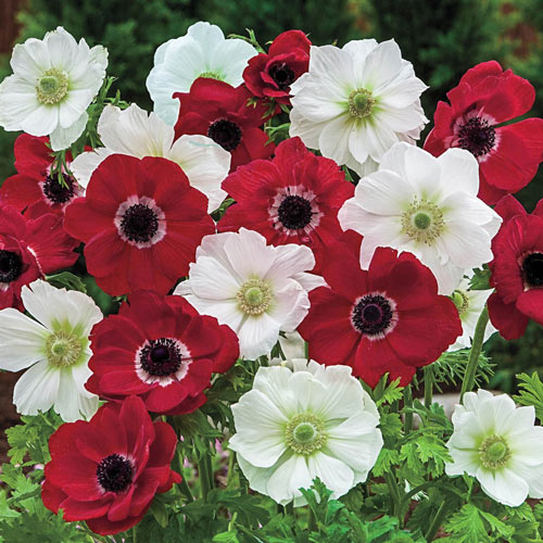 Red And White Poppy Anemone Duet™