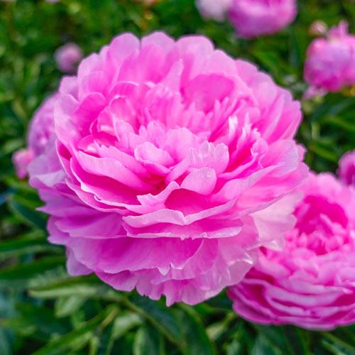 Vivid Rose Peony