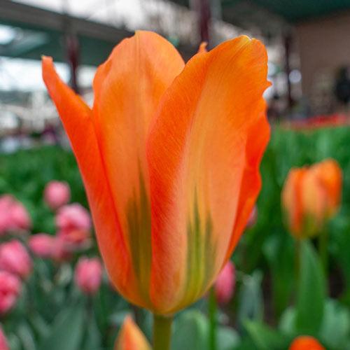 Orange Brilliant Tulip