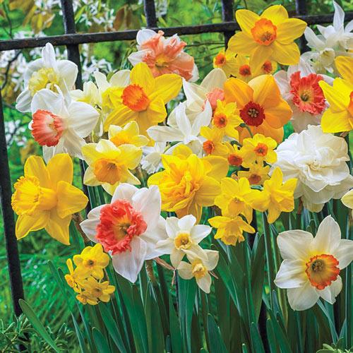 Season's Best Daffodil Mixture