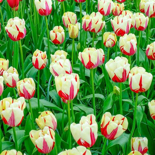 World Expression Tulip
