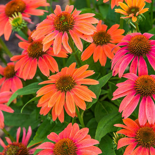 Rainbow Marcella Coneflower