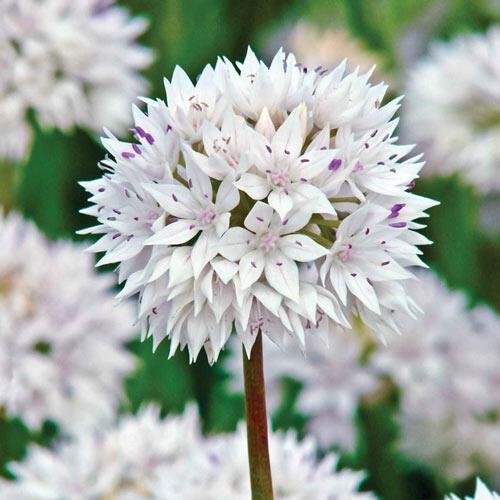 Graceful Allium