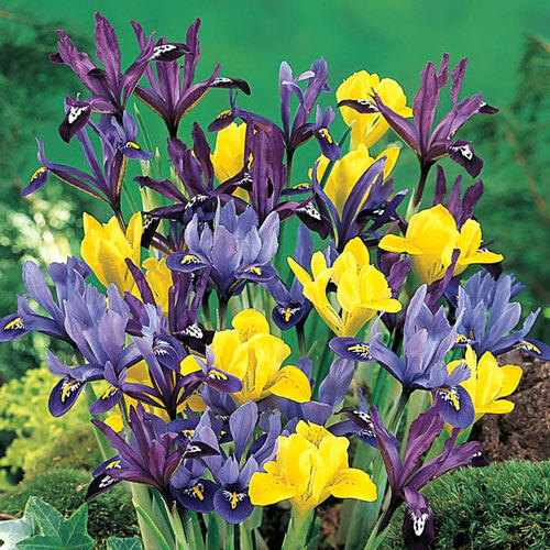 Dwarf Iris Mixture