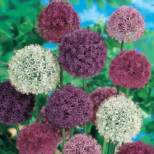 Giant Allium Mixture