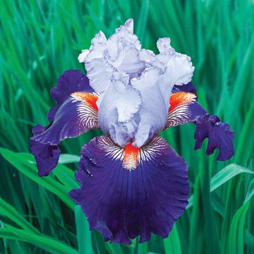 Wired in Blue Bearded Iris