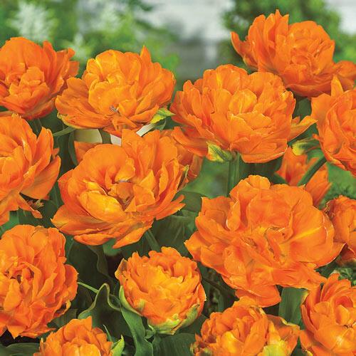 Monte Orange® Tulip