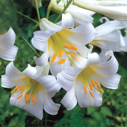 Regale Album Trumpet Lily