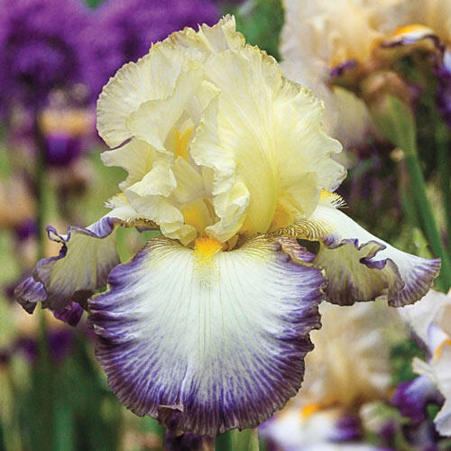 Moon at Midnight Bearded Iris
