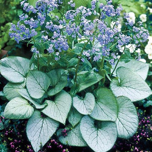 Silver Heart Siberian Bugloss