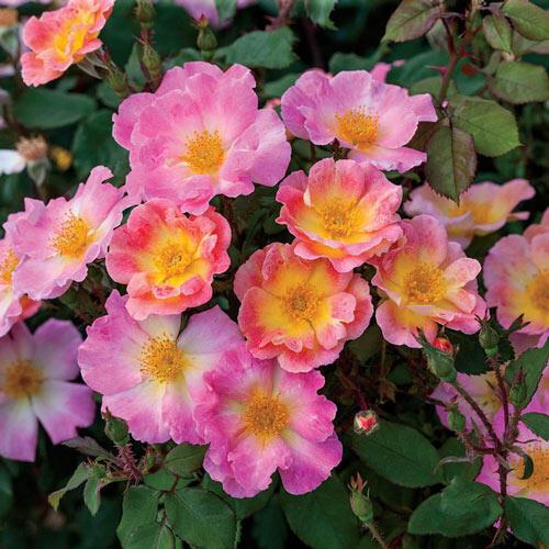 Watercolors Home Run® Shrub Rose
