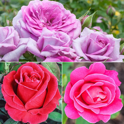 Fragrant Rose Garden Collection-3 Plants