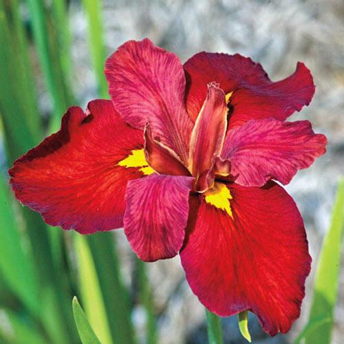 Ann Chowning Louisiana Iris