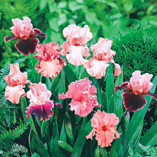 Shades of Pink Bearded Iris Mixture Super Sak®