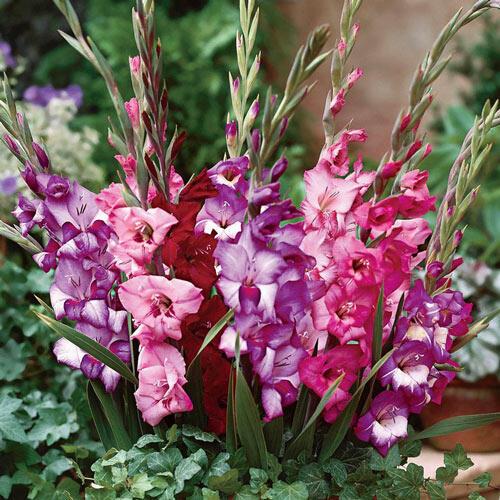 Royal Glamini® Gladiolus Blend