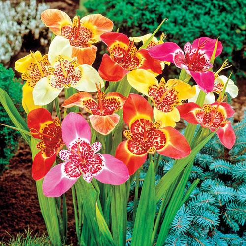 Tiger Flowers Mixture