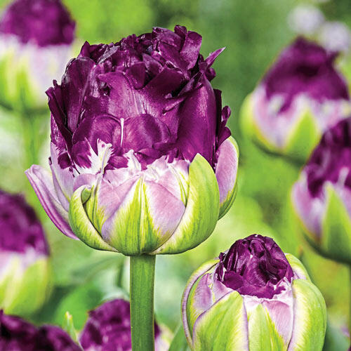 WOW Tulip®
