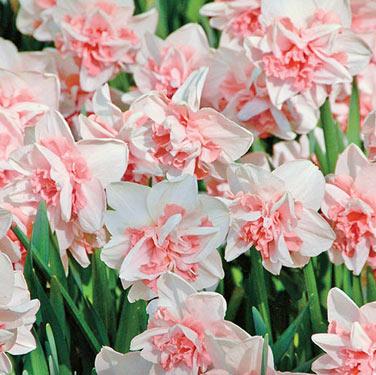 Brecks premium flower bulbs shop now for iris day lily daffodil featured super sak mightylinksfo